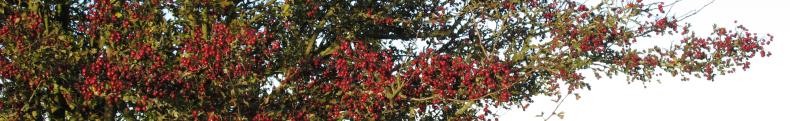 hawthorn - a feast for birds